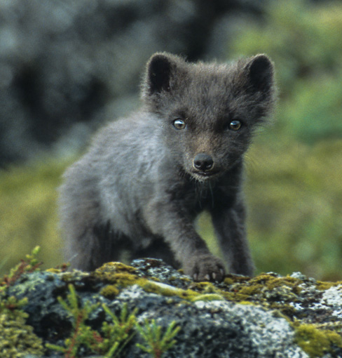 Inquisitive Fox Cub, Reykjanes Peninsula, Iceland, by Andrew Jones