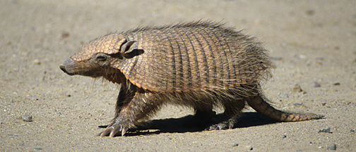 Armadillo, Punta Norte, Peninsula Valdes, Southern Argentina, by Andrew Jones